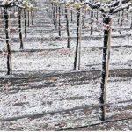 Bajas temperaturas y falta de agua amenazan a los campos de uva de mesa