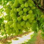 Productores del valle denuncian millonarios robos de uva